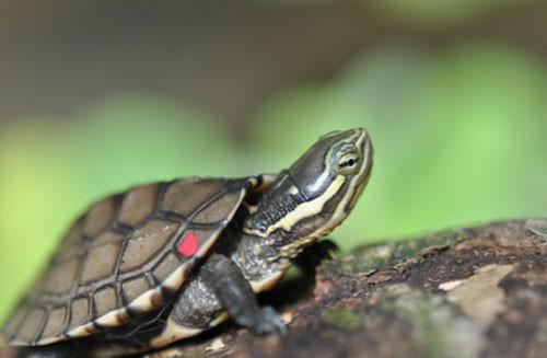 Rùa Trung Bộ (Mauremys annamensis)