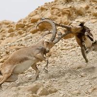 Cuộc chiến đọ sừng đoạt bạn tình của sơn dương Nubia