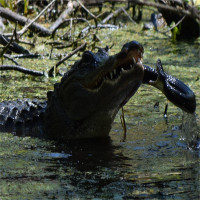 """Thấy rắn """"khủng"""" đến gần con, cá sấu mẹ tung đòn hủy diệt"""