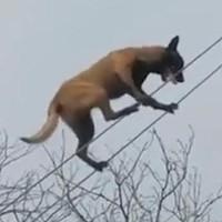 Video: Chó đi thăng bằng trên dây điêu luyện