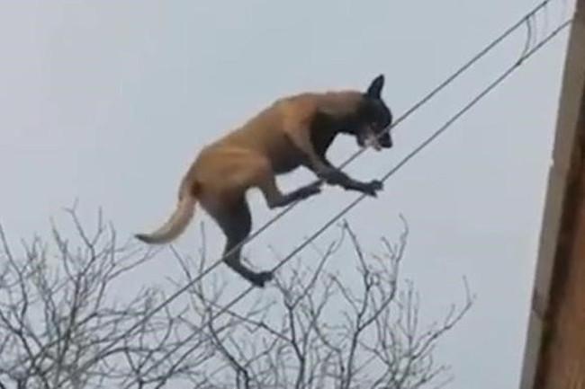 Chó đi trên dây