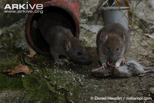 Chuột cống ăn thịt chuột nhắt.