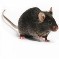 """Nước mắt loài chuột và phát hiện bất ngờ khả năng """"đánh hơi ké"""" mùi của kẻ đi săn"""