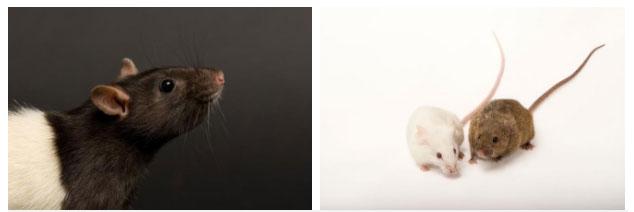 Chuột cống (trái) và chuột nhắt (phải).