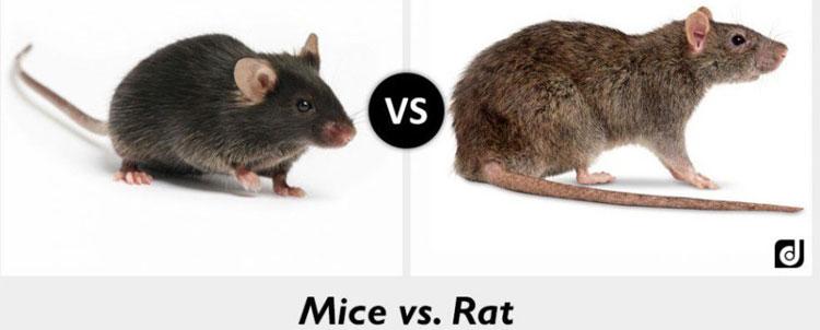 Bên trái là chuột nhắt – con mồi nhỏ bé và bên phải là kẻ săn mồi chuột cống.