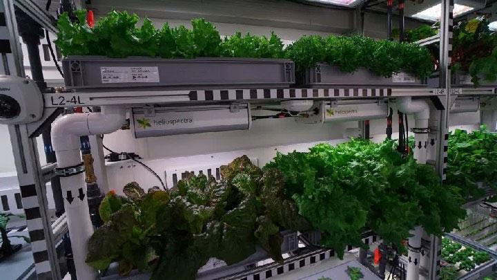 """Những """"vựa"""" rau xà lách được trồng trong nhà kính."""