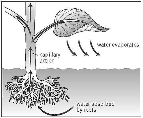 Sự di chuyển của nước trong cây xanh.