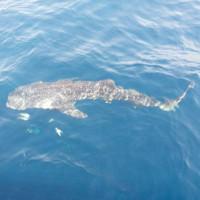 Ngư dân Phú Quốc gặp cá voi xám quý hiếm trên biển