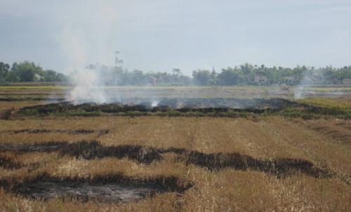 Rơm được người dân đốt cháy trên ruộng.