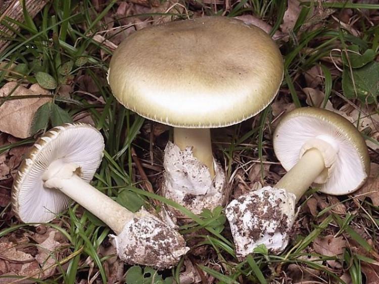 Một loại nấm độc