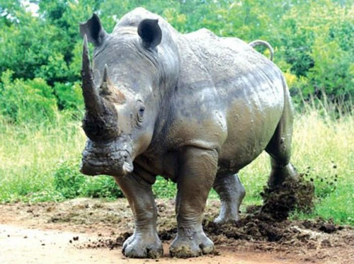 """Tê giác có nguy cơ bị tuyệt chủng vì ngộ nhận """"thần dược"""" chữa bệnh của con người."""