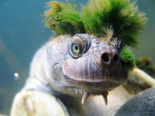 Bản thân rùa sông Mary cũng có nguồn gốc rất cổ xưa, thậm chí là cổ nhất Trái đất.