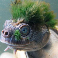 """Loài rùa tóc xanh """"gấu"""" nhất mạng xã hội này sắp tuyệt chủng"""