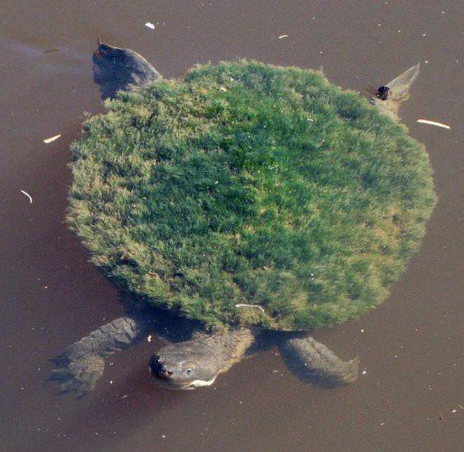 Trong vòng 20 năm trở lại đây, chúng bị đe dọa bởi các loài động vật hoang dã, ô nhiễm nước...