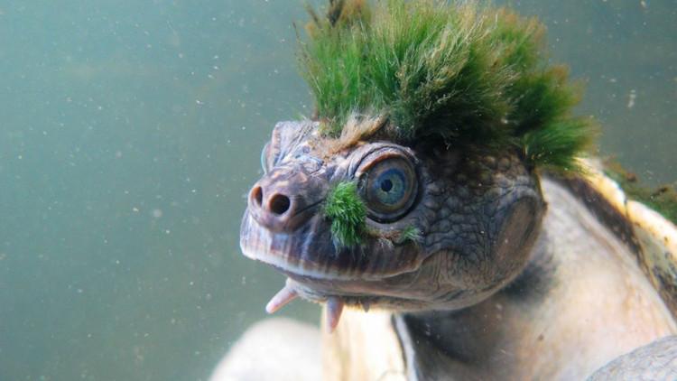 Thực ra đây không phải là đám tóc xanh trên đầu đâu - đó là rêu tảo bám vào thôi.