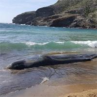 Gần 30kg rác trong bụng một con cá nhà táng dạt bờ biển