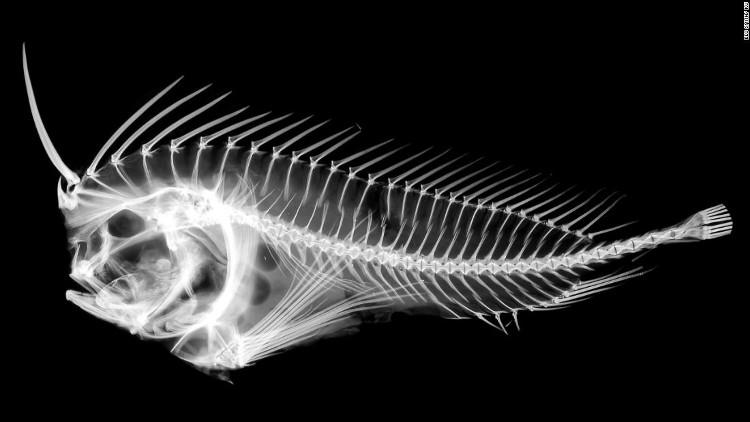 """Phim X-quang chụp cá đá đang """"rút gươm"""""""