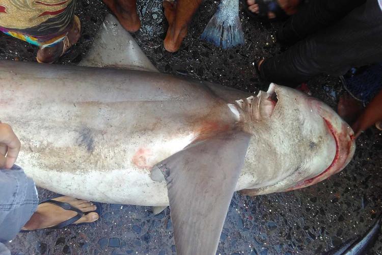 Cá mập sông Hằng rất hiếm gặp do bản tính ưa lẩn trốn.