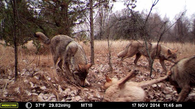 Số lượng sói ở khu vực phóng xạ cao gấp 7 lần so với khu vực bình thường.