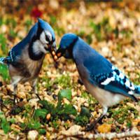 """Loài chim cũng sở hữu """"hormone tình yêu"""" giống con người"""