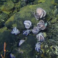 Hơn 100 bạch tuộc mẹ ấp trứng dưới biển sâu