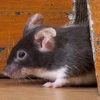 Nguy cơ nạn chuột mang mầm bệnh và chủng virus mới tại New York