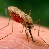 """Sốt rét thay đổi mùi của bệnh nhân, làm họ càng """"hấp dẫn"""" muỗi"""