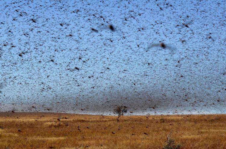 Châu chấu phá hoại mùa màng, làm giảm diện tích đất đồng cỏ cho chăn nuôi.