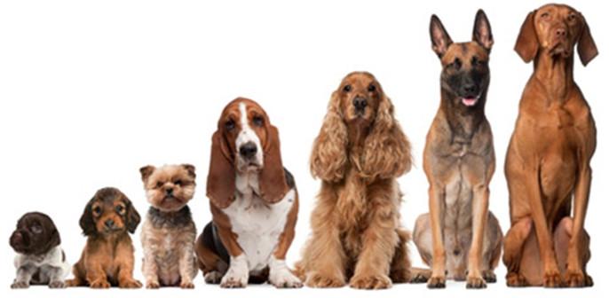 Đâu là đại diện có kích thước lớn nhất trong Họ Chó (Canidae)?