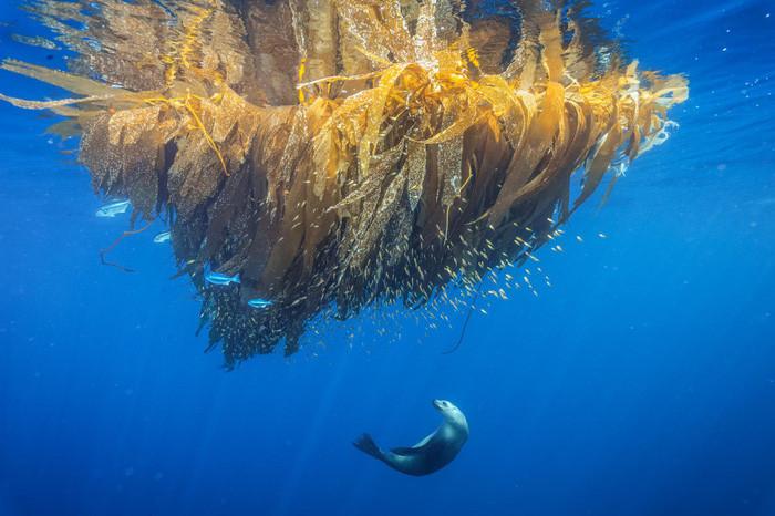 Sư tử biển săn cá