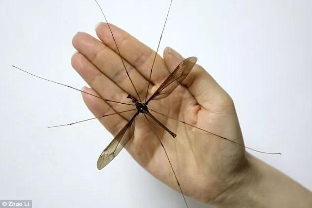 Cánh và các chân của nó tủa ra lớn hơn chiều dài và rộng của bàn tay.