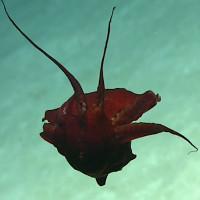 Loài mực đỏ như máu ở độ sâu hàng nghìn mét
