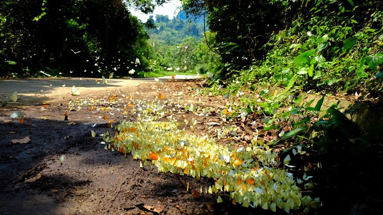 Hơn 400 loài bướm đủ các chủng loại, số lượng cá thể lên tới hàng triệu con tại đây đua nhau khoe sắc