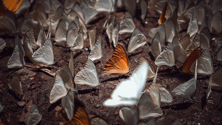 Vào sâu trong rừng, bướm xuất hiện nhiều hơn, đặc biệt khu vực cây chò ngàn năm, chỉ cần xua tay bướm bay ra từng đàn
