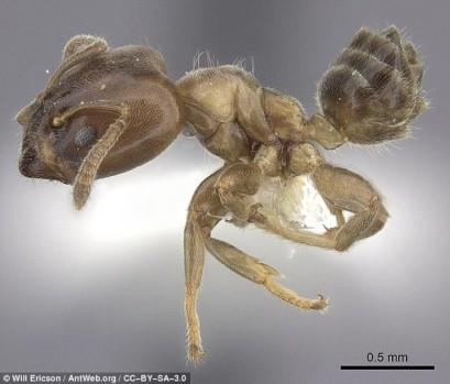 Ảnh phóng to một con kiến A.brevis.
