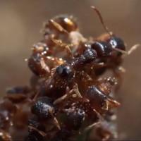 """Video: Loài kiến chuyên cướp trứng của đồng loại về nuôi làm """"nô lệ"""""""