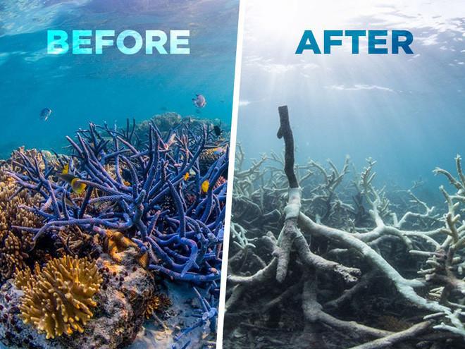 Nhiều khu vực san hô đã chết, trở thành màu trắng như nhuộm bằng vôi.