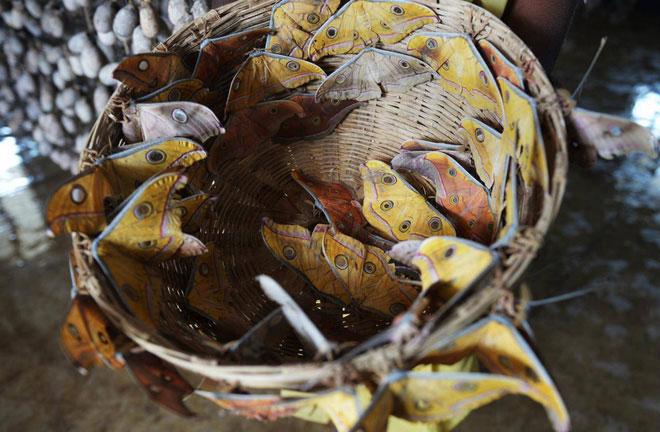 Loài bướm ăn vải tại Anh.