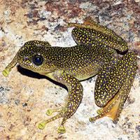 Phát hiện cóc răng, ếch bám đá đốm vàng quý hiếm ở Lào Cai