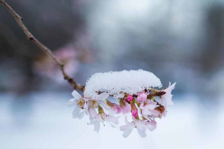 Nhật Bản đã sản xuất được rượu từ gỗ cây tuyết tùng, bạch dương và anh đào.