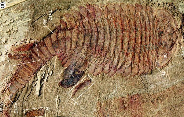 Các hóa thạch Fuxianhuia protensa được phát hiện tại Trung Quốc.