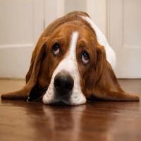 Giờ thì chúng ta đã biết vì sao chó sợ sấm sét