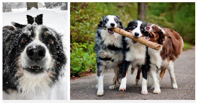 """Chó Collie biên giới (trái) và chó chăn cừu Úc (phải) là những """"bé"""" nhạy cảm nhất."""