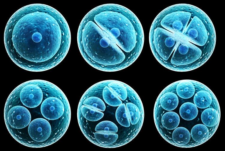 Phôi thai tạo từ tế bào gốc được cấy vào chuột.