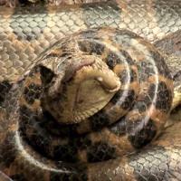 Cảnh trăn anaconda khổng lồ ăn thịt cá sấu trên sông Brazil