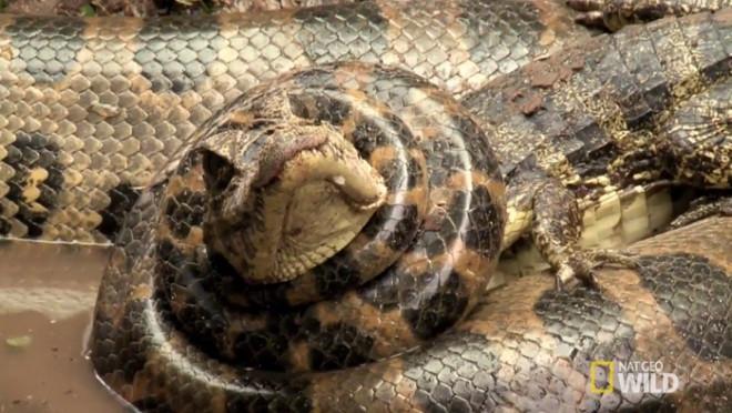 Cá sấu bị trăn Anaconda siết chặt không thể cựa quậy.