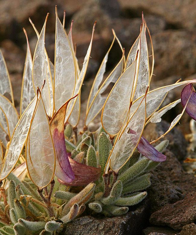 Bề ngoài của Anelsonia eurycarpa vô cùng hoàn hảo