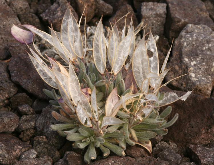 Đây cũng là loài thực vật nguyên sinh ở Mỹ, môi trường sống yêu cầu đặc biệt cao.