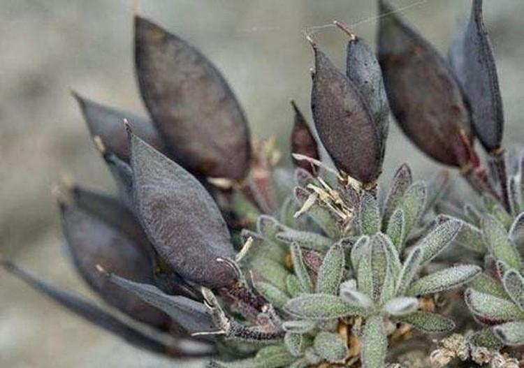 Cũng với lý do đó, đến tận ngày nay, vẫn có rất ít thông tin về loài thực vật này