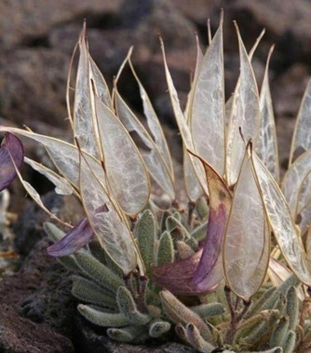 Loài thực vật này có tên khoa học là Anelsonia eurycarpa